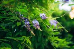 Bellezza piantata nel grande traliccio di glicine Fotografie Stock