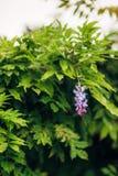 Bellezza piantata nel grande traliccio di glicine Immagini Stock