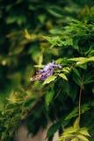 Bellezza piantata nel grande traliccio di glicine Immagine Stock Libera da Diritti