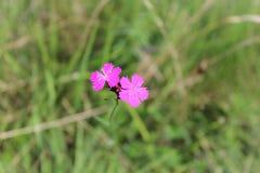 Bellezza rosa Fotografie Stock Libere da Diritti