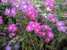 Bellezza rosa della natura di storia dei fiori Fotografia Stock Libera da Diritti