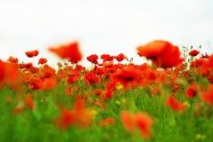 Bellezza rossa Immagine Stock