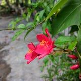 bellezza rossa del fiore del momento Fotografia Stock Libera da Diritti