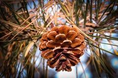 Bellezza unica di caduta dei barrens del pino fotografia stock libera da diritti