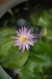 Bellezza variopinta Lotus Closeup Fotografie Stock Libere da Diritti