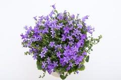 Bellflowe roxo vívido bonito do Dalmatian do arbusto da flor da mola Imagem de Stock