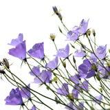 bellflower απομονωμένο με φύλλα λευκό ροδάκινων Στοκ φωτογραφίες με δικαίωμα ελεύθερης χρήσης