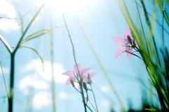 bellflower λιβάδι στοκ φωτογραφία με δικαίωμα ελεύθερης χρήσης