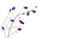 bellflower πρότυπο προτύπων στοκ εικόνες