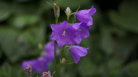Bellflower στη βροχή φιλμ μικρού μήκους