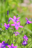 Bellflower. Stock Foto