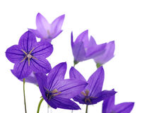 Bellflower stock foto's