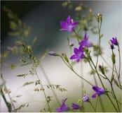 bellflower Fotografía de archivo libre de regalías