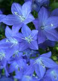 bellflower Imagem de Stock Royalty Free