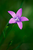 bellflower Foto de Stock Royalty Free