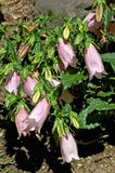 Campanula punctata Pink Chimes Stock Photography
