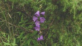 bellflower Foto de Stock Royalty Free