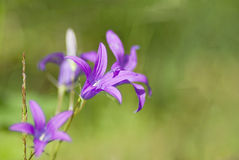 Bellflower. Wild bellflower (campanula) in the forest Stock Photo
