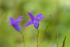 Bellflower. Wild bellflower (campanula) in the forest Stock Image