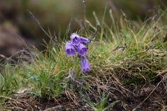 Bellflower alpino (alpina della campanula) Fotografia Stock