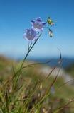 Bellflower alpino - alpina della campanula nell'erba Immagine Stock Libera da Diritti