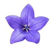 bellflower obrazy stock