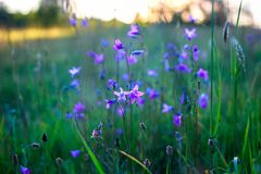 Closeup bell flower, violet flowers, campanula, meadow on sunset stock photo