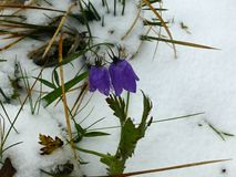 Bellflower in bloom in the snow royalty free stock photography