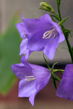 Bellflower blossoms Royalty Free Stock Images