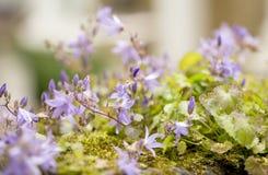 Bellflower blu di trascinamento Fotografia Stock