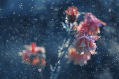 Bellflower in blue rain. Red bellflower in blue rain, dreamy mood, blur, with unrealistic color palette, close up royalty free stock images