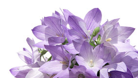 Bellflower bouquet. Isolated on white background Stock Photos