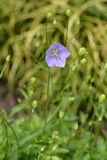 Bellflower cárpato fotografía de archivo