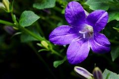 Bellflower (campânula) Fotos de Stock