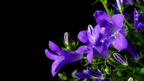 Bellflower (campânula) Foto de Stock