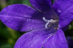 Bellflower (campânula) Imagens de Stock