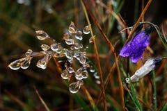 Bellflower - campanula Alpina Immagini Stock