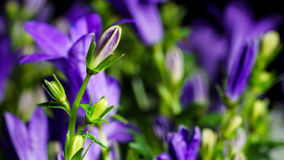 Bellflower (Campanula) Stock Photography