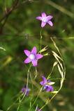 Bellflower or Campanula patula Royalty Free Stock Photos