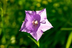 Bellflower or Campanula persicifolia royalty free stock images