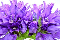 Bellflower close up background Royalty Free Stock Photo