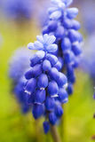 Bellflower. Close up of small blue bell flower Royalty Free Stock Photos