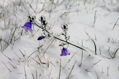 Bellflower covered with Ice. After freezing rain were all flowers under Ice coat stock photo