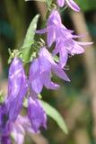 Bellflower, Creeping (Campanula rapunculoides) Royalty Free Stock Photography
