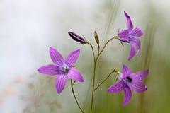 Bellflower de extensión que florece en prado Foto de archivo libre de regalías