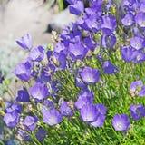 Bellflower decorativo da flor do jardim (carpatica da campânula) Imagem de Stock