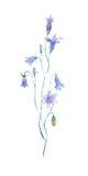 Bellflower del azul de la acuarela Imagen de archivo