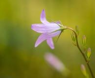 Bellflower del prato, bellezza nella porpora Fotografie Stock Libere da Diritti