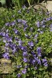Bellflower di Adria - portenschlagiana del Campanula Immagini Stock