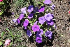Bellflower di ciuffo d'erba fotografia stock